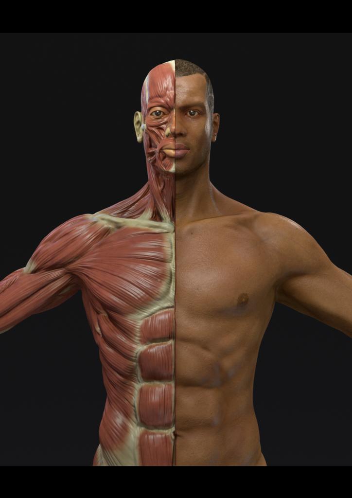 Human Male Anatomy Sculpting